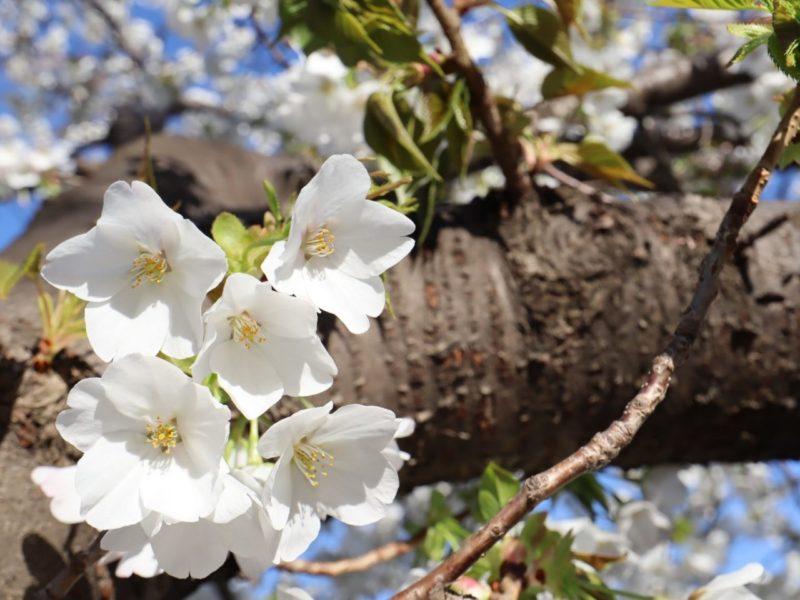 桜咲く、お花見2020